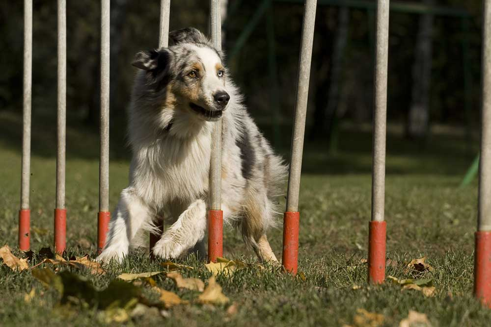 © Dadly | Dreamstime.com - Agility - Dog Skill Competition. Photo